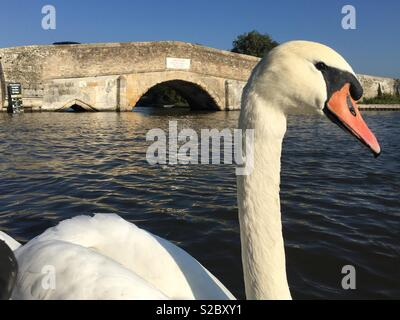 A swan on the river Thurne by Potter Heigham bridge. - Stock Image