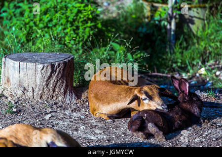 Lying brown cameroon sheep (Ovis aries) with head on a black domestic rabbit (Oryctolagus cuniculus f. domesticus) - Stock Image