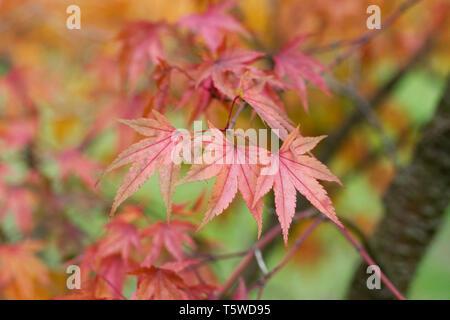 Acer palmatum 'Arakawa' leaves in Autumn. - Stock Image