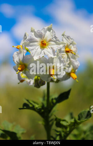 Blooming potato bush on a background of blue sky with clouds - Stock Image