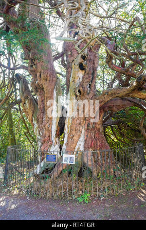 The ancient historic Crowhurst Yew, believed to be at least 1000 years old, possibly as old as 2000 years, East Sussex, UK - Stock Image