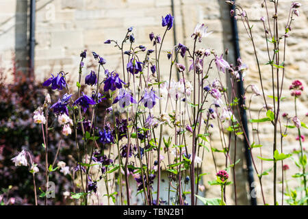A view of purple and pink Aquilegia flowers, grannies bonnets from below - Stock Image
