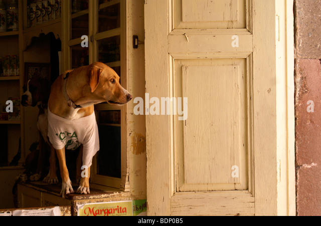 dog-wearing-a-t-shirt-looking-out-of-a-s
