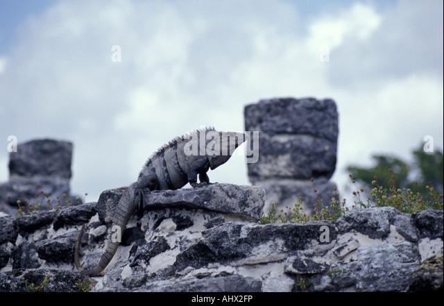 iguana-at-the-mayan-ruins-of-el-rey-in-c