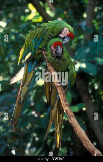 pair-of-military-macaws-ara-militaris-at