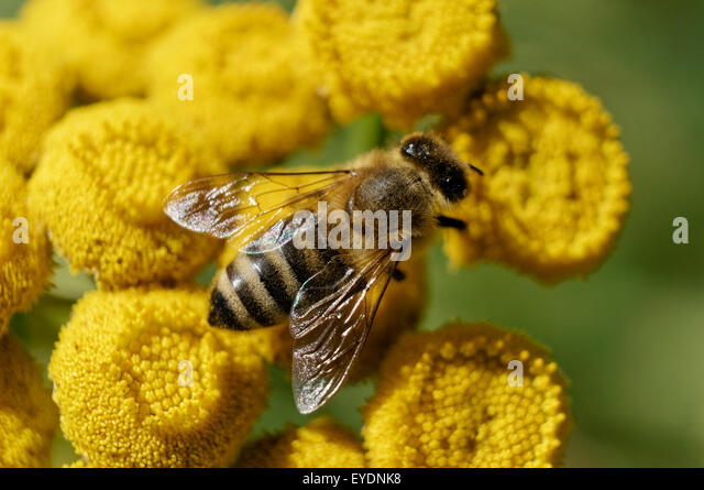 a-western-honey-bee-or-european-honey-be