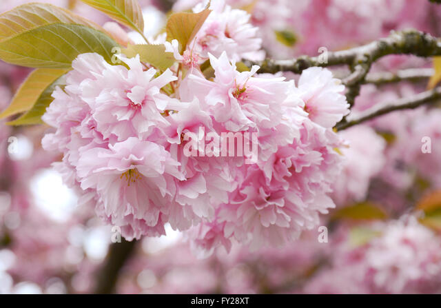 fluffy-pink-cherry-blossom-flowers-on-br