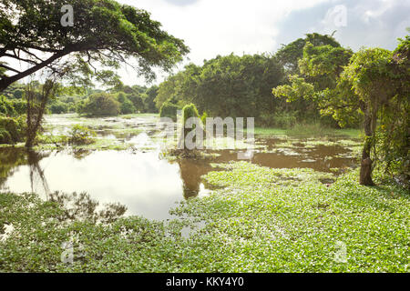 Chilaw Everglades, Sri Lanka, Asien Stockbild