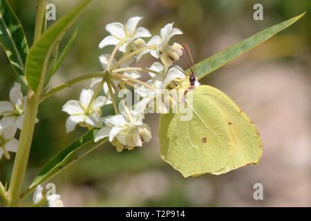 Zitronenfalter (Gonepteryx rhamni) Fütterung auf Milkweed / Ballon Baumwolle Blumen (Gomphocarpus fruticosus), Sardinien, Italien, Juni. Stockbild