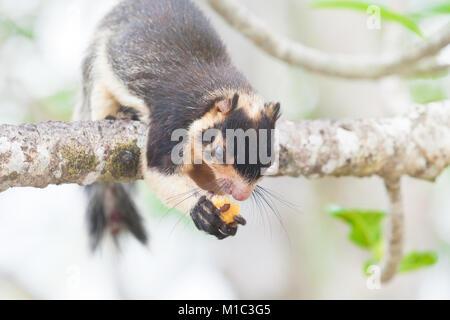 Madu Ganga, Balapitiya, Sri Lanka - Eine indische Riese Eichhörnchen auf Zweig essen einige Essen Stockbild
