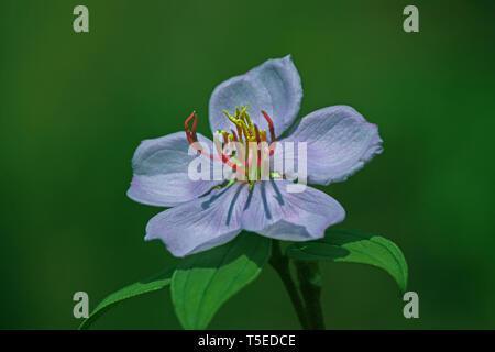 Lila Blume, Indien, Asien Stockbild