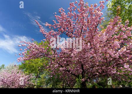 Kirschblüte in Berlin, Deutschland Stockbild