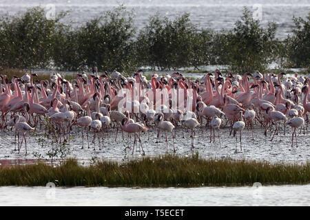 Lesser Flamingo, TAPI-Fluss, Surat, Gujarat, Indien, Asien Stockbild