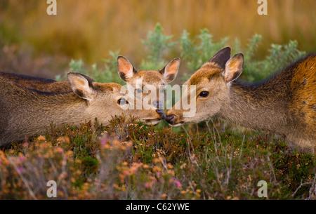SIKA Hirsch Cervus Nippon Erwachsener und Sub Erwachsene berühren Nase, ein junges Kalb blickt auf Dorset, Stockbild