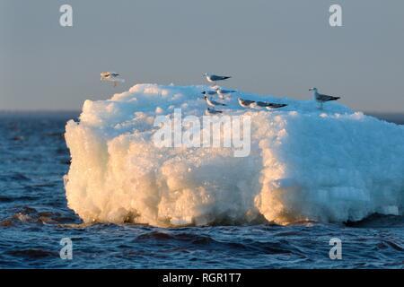 Migrant Gemeinsame und Schwarz - vorangegangen Möwen auf Wind See Eis aufgestaut, in der Nähe der Ufer von Lake Peipsi, Pärnu County, Estland, April. Stockbild