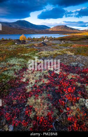 Herbstfarben im Dovrefjell, Norwegen. Die roten Pflanze im Vordergrund Dryas octopetala. Im Hintergrund ist der See Avsjøen. Stockbild