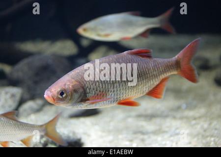 Gemeinsamen Rudd, Scardinius Erythrophthalmus, Karpfenfische. Bentho-pelagische Süßwasserfisch, weit verbreitet in Europa und Mittelasien. Stockbild
