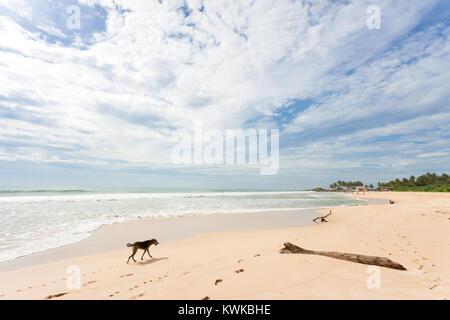 Asien - Sri Lanka - induruwa - ein Hund für Essen am Strand suchen Stockbild