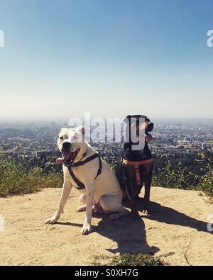 Hunde wandern über Los Angeles. Stockbild