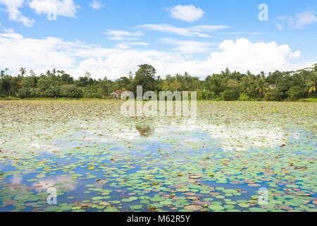 Matara, Sri Lanka, Asien - Tousands der Seerosen auf einem See in der Nähe von Matara Stockbild