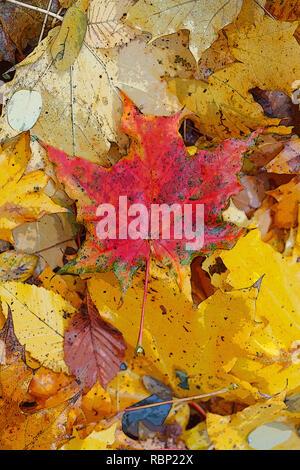 Maple Leaf, bunte Blätter im Herbst auf dem Boden liegend, in Deutschland, in Europa Stockbild