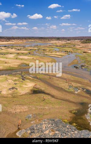 Blick über impala im Olifants River im Krüger National Park auf einem hellen und sonnigen Tag. Stockbild