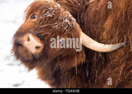Highland Kuh unter dem Schnee, Valtellina, Lombardei, Italien, Europa Stockbild