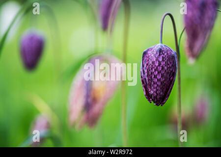 Nahaufnahme von einem zarten Lila Kariert Blüte von einer Schlange Kopf Fritillary auf einer Wiese. Stockbild