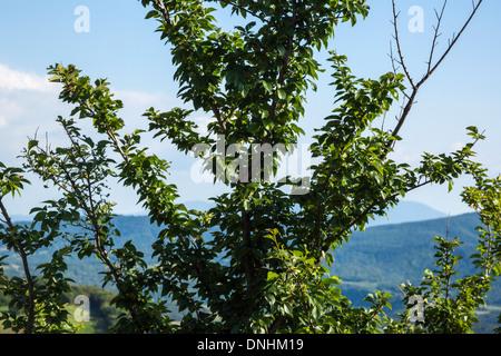 Nahaufnahme eines Baumes mit Hügeln im Hintergrund, Volterra, Provinz Pisa, Toskana, Italien Stockbild