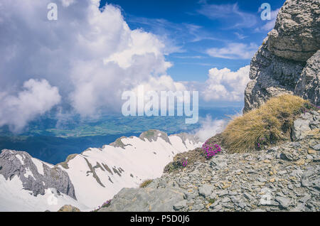Purple Mountain, steinbrech Saxifraga oppositifolia auf dem Gipfel des Säntis, Appenzell Alpen, Schweiz. Stockbild
