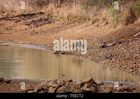 Tiger, andhari tadoba Tiger Reserve, chandrapur, Maharashtra, Indien, Asien Stockbild