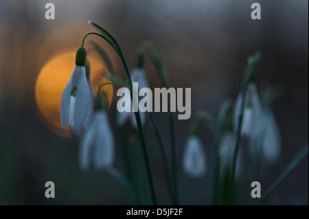 Österreich / Niederösterreich - Frühling blühende Schneeglöckchen im Nationalpark Donau Stockbild