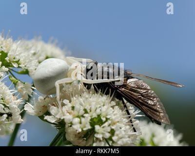 Weiße Form der Goldrute crab Spider (Misumenia vatia) getarnt auf dolde Blüten untergang Reißzähne in den Kopf eines großen Pferd fliegen, Korsika, Frankreich. Stockbild