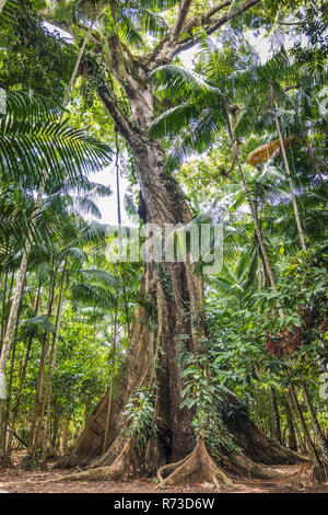 Ceiba pentandra (sumaúma), Ilha do Combu, Amazon, Belem do Pará, Para, Brasilien Stockbild