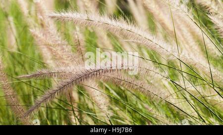 Blühenden Rasen während am Morgen. Stockbild