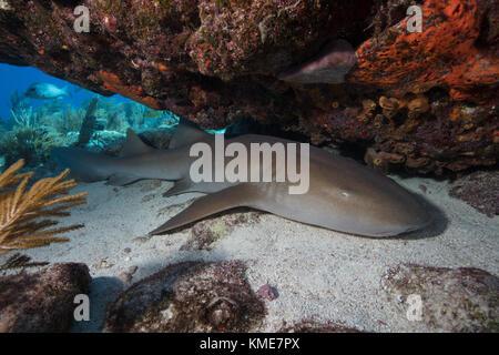 Ein Ammenhai sieht auf einem Sandboden unter einem Felsvorsprung von Korallen. Stockbild