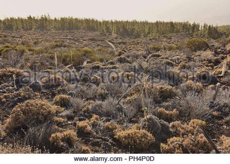Ariden Vulkanlandschaft mit Zwergsträuchern und Pinien, wachsen in der Höhe von 2100 m, Nationalpark Teide Teneriffa Kanarische Inseln Spanien. Stockbild