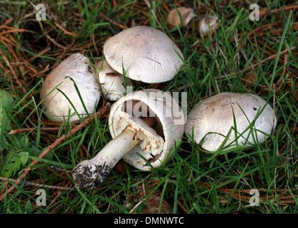 Pilz, Agaricus Bisporus, Agaricaceae kultiviert. Wildform. Stockbild