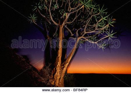 Köcher Bäume bei Dämmerung, Aloe Dichotoma, Niewoudtville, Südafrika Stockbild