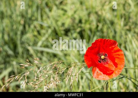Roter Mohn auf einer deutschen Feld Struktur Stockbild