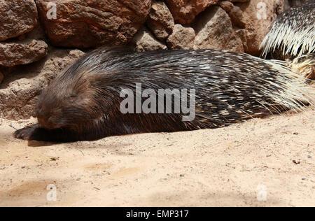 Crested Stachelschwein, Hystrix Cristata, Hystricidae, Mammalia.  Man findet in Italien, Nordafrika und Sub-Sahara Stockbild