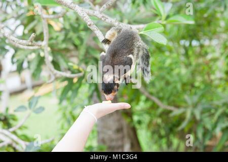 Madu Ganga, Balapitiya, Sri Lanka - Eine indische Riese Eichhörnchen auf Zweig schnüffeln an etwas Essen Stockbild