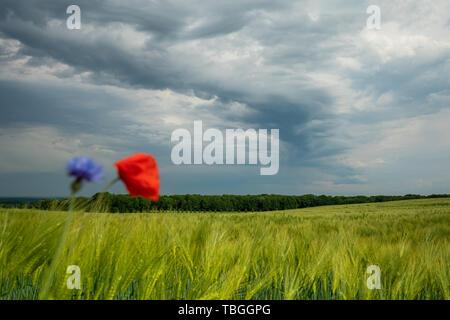 Dunkle Gewitterwolken ziehen über grüne Felder und rote Mohnsamen im Vordergrund hinweg Stockbild