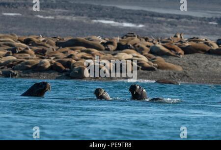 Eine Familie von walross Schwimmen am Strand im Meer acrtic Stockbild