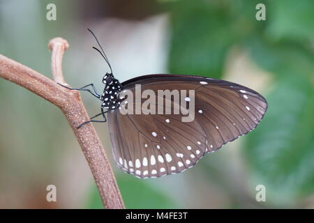Euploea core Stockbild