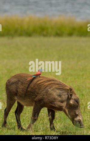 Warzenschwein mit Northern Carmine Bee-eater auf seinem Rücken, Murchison Falls Nationalpark, Uganda Stockbild
