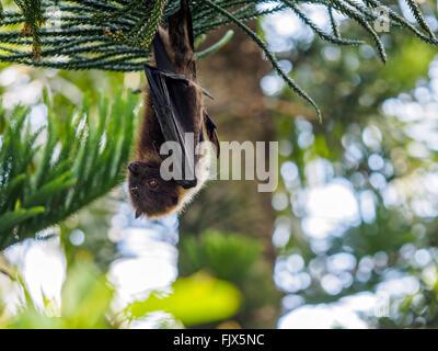 Niedrigen Winkel Ansicht der Flughund hängen von Baum Stockbild