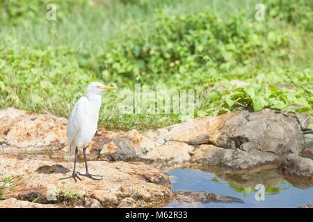 Galle, Sri Lanka, Asien - eine weiße asiatische Egret eine Pause an einem kleinen Fluss in Galle Stockbild