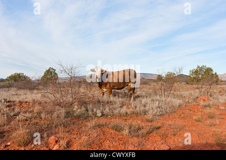 Ein Stier in Sedona Arizona Stockbild