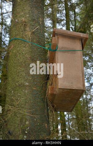 Holz- Höhle, um einer Kiefer für die Verwendung durch Baummarder (Martes martes) nach Wales von der Vincent Wildlife Trust, Cambrian Mountains wieder befestigt Stockbild